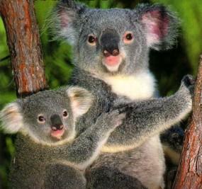 koala bears chlamydia australia sydney