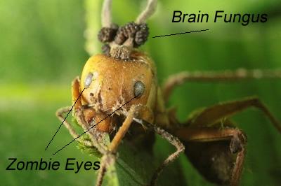 zombie ants thailand