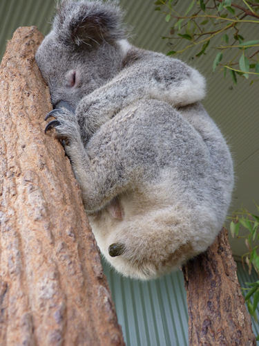koalas eat their mother's poo